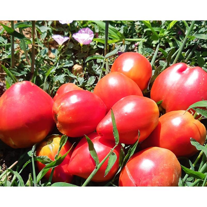 Récolte des tomates cœur de bœuf Anna Russe
