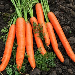 Semences de carottes de Colmar à cœur rouge