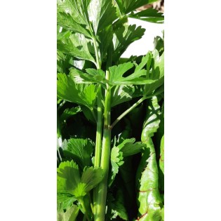Céleri à petites branches verts