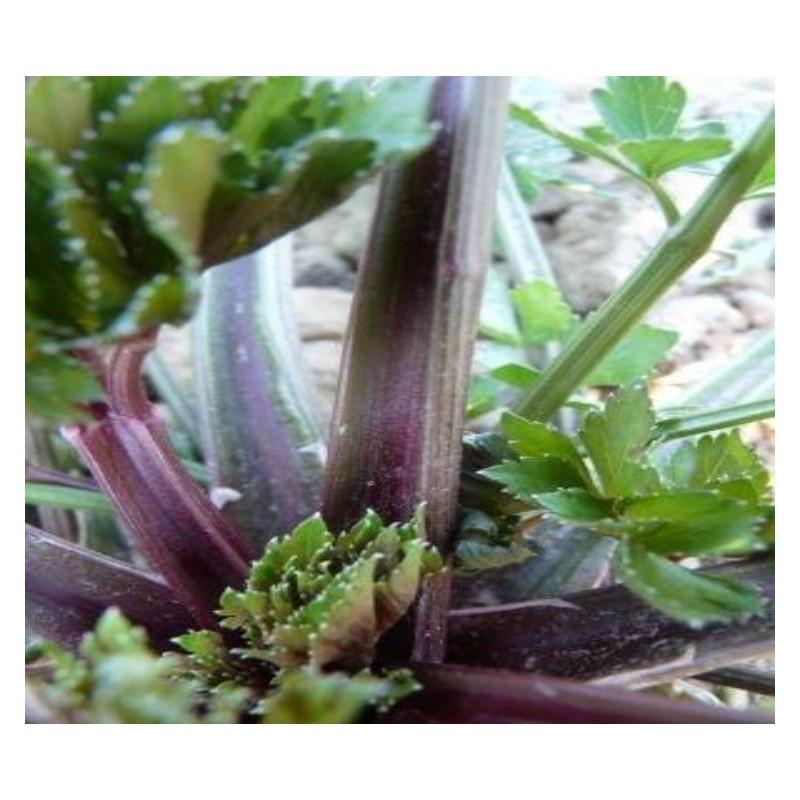 céleri à branche violet