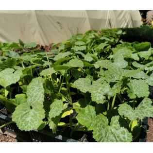 Plants de courgette