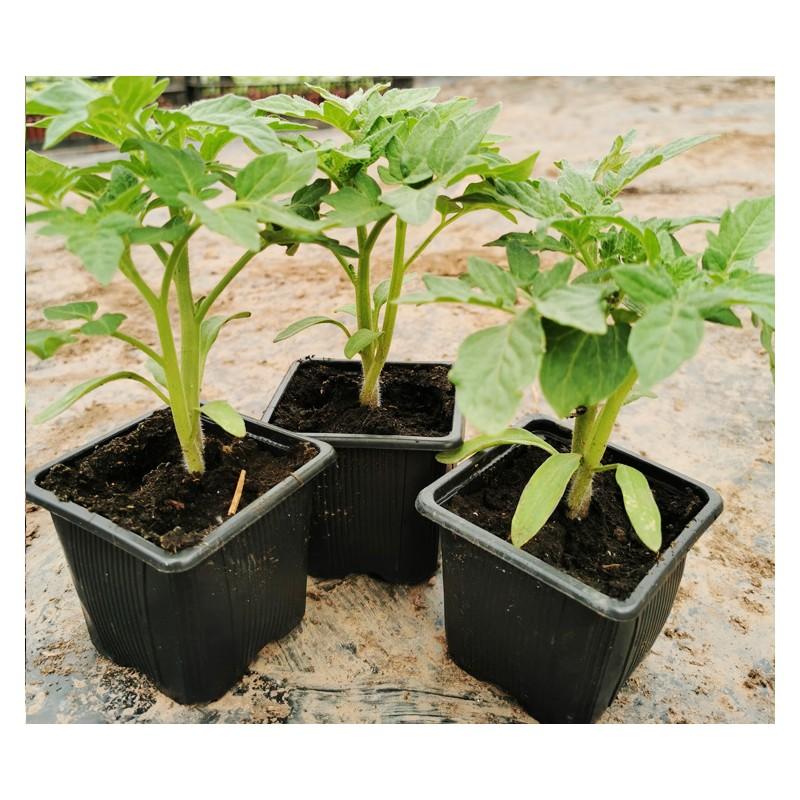Plants de tomates pour les bacs