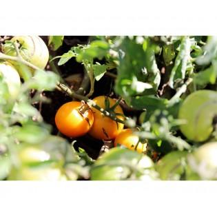 Tomate Ambre